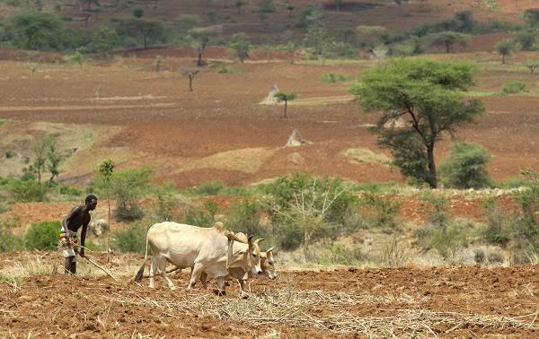 """Bauer pflügt sein Land mit seinen Kühen in der Nähe von Konso in Südäthiopien. Bauer pflügt sein Land mit seinen Kühen in der Nähe von Konso in Südäthiopien.    Bild: """"Working in the field"""" © Edwardje [Royalty Free]  - Dreamstime.com"""