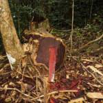 Illegal gefällter Rosenholz-Baum im Marojejy National Park, Madagascar Illegal gefällter Rosenholz-Baum im Marojejy National Park, Madagascar | Bild (Ausschnitt): © Anonym [CC BY-SA 3.0] - Wikimedia Commons