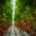 Tomaten im Gewächshaus Tomaten im Gewächshaus | Bild (Ausschnitt): © Lufa Farms - Wikimedia Commons