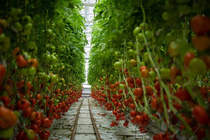 Tomaten im Gewächshaus Tomaten im Gewächshaus |  Bild: © Lufa Farms [CC BY-SA 2.0]  - Wikimedia Commons