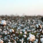 Baumwolle Baumwolle | Bild (Ausschnitt): © Wellesenterprises - dreamstime.com