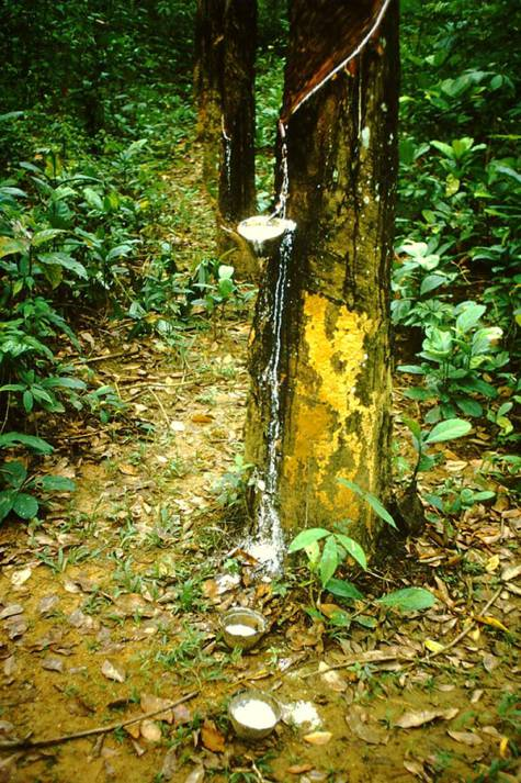 Kautschukplantage im Bundesstaat Johor, Malaysia. Kautschukplantage im Bundesstaat Johor, Malaysia.     Bild: © Spielvogel [CC0 1.0]  - Wikimedia Commons