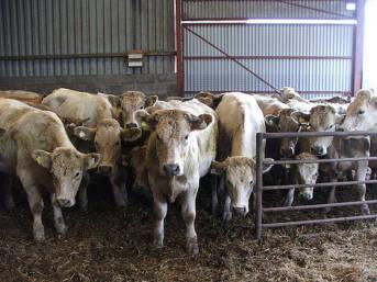 Rinder im Stall  | Bild: ©  Stewart Morris [CC BY-NC-ND 2.0]  - Flickr