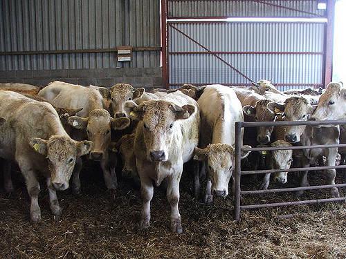 Rinder im Stall  Bild: ©  Stewart Morris [CC BY-NC-ND 2.0]  - Flickr