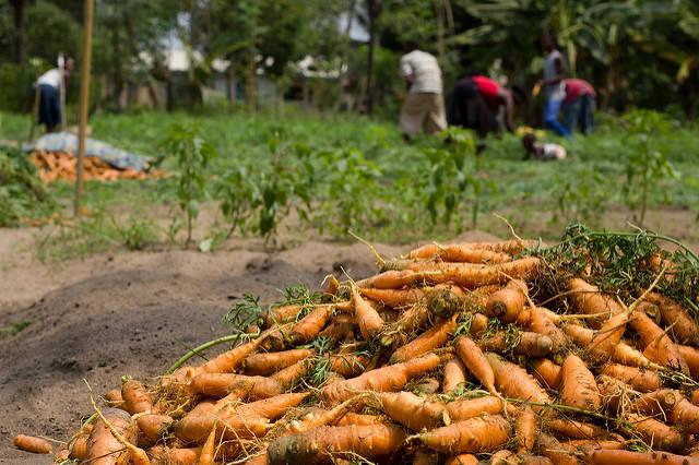 Karottenernte in Westafrika    Bild: © Chad Skeers [CC BY 2.0]  - Flickr