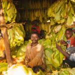 Trocknen von Tabakpflanzen in Malawi Die Tabakproduktion macht vor Ort die Menschen extrem krank und kontaminiert die Böden | Bild (Ausschnitt): © IFPRI -IMAGES [CC BY-NC-ND 2.0] - Flickr