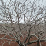 Pistazienbaum, Dürre Vertrockneter Pistazienbaum | Bild (Ausschnitt): © Matt Krause [CC BY 2.0] - flickr