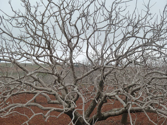 Pistazienbaum, Dürre Vertrockneter Pistazienbaum     Bild: ©  Matt Krause [CC BY 2.0]  - flickr