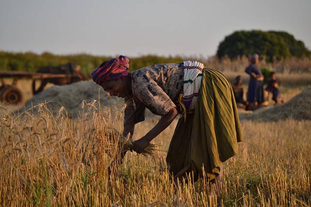 Erntehelferin Äthiopien  | Bild: © Synergos Institute [CC BY 2.0]  - Flickr.com