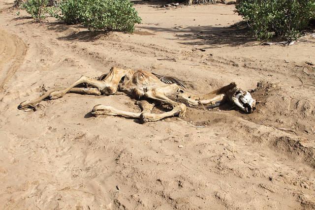 Kadaver eines Kamels in Nordkenia Wenn Kamele, wie in Nordkenia verdursten, ist die Situation kritisch.    Bild: ©  Trocaire [CC BY 2.0]  - Flickr