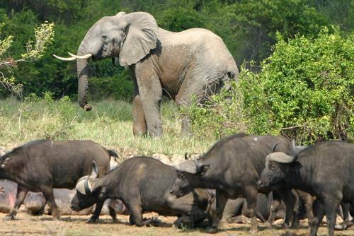 Afrikanische Waldelefanten und Wasserbüffel im Virunga Nationalpark in der demokratischen Republik Kongo. |  Bild: © Radio Okapi [CC BY 2.0]  - Wikimedia Commons