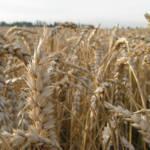 Getreidefeld Die Weizenpreise stiegen im Jahr 2007 in Somalia um 300 Prozent und im Senegal um 100 Prozent. | Bild (Ausschnitt): © Martin Vidner [CC BY 2.0] - flickr