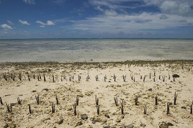 Kiribati An Kiribatis Küsten werden zum Schutz vor den Fluten Mangroven geflanzt |  Bild: © United Nations Photo [CC BY-NC-ND 2.0]  - Flickr