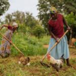 Viele Kleinbauern in Afrika können mit den billigen Produkten aus Europa nicht mithalten. | Bild (Ausschnitt): © IFPRI -IMAGES [CC BY-NC-ND 2.0] - Flickr