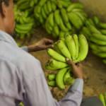 Bei Monoprodukten wie der Banane können nur bestimmte Siegel wie Fairtrade den fairen Handel gewährleisten. | Bild (Ausschnitt): © AMISOM [CCo 1.0] - Flickr