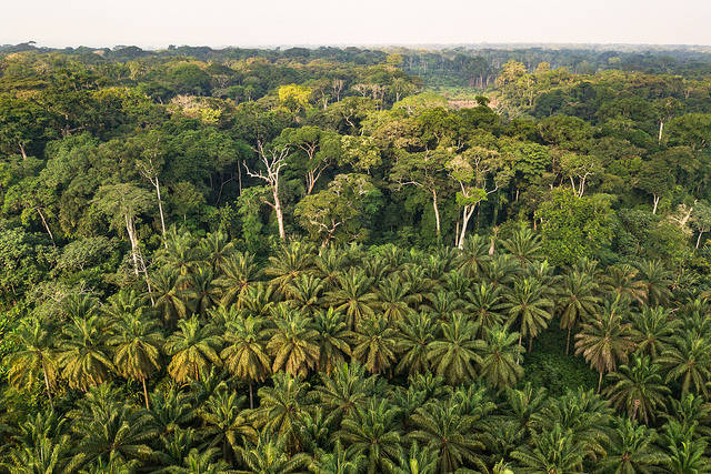 Palmölplantage in der Demokratischen Republik Kongo  |  Bild: © CIFOR [CC BY-NC-ND 2.0]  - flickr