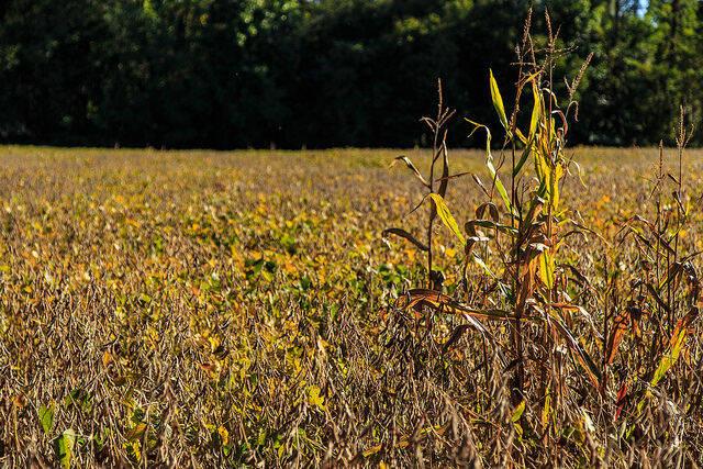 Jährlich werden in Argentinien knapp 200 Millionen Liter giftiges Glyphosat über die Sojafelder versprüht  |  Bild: ©  Randall Pugh [CC BY-NC 2.0]  - flickr