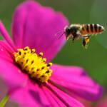 Bienen Das große Bienensterben betrifft sowohl den Globalen Norden als auch den Globalen Süden | Bild (Ausschnitt): © Yuan [CC BY-NC-ND 2.0] - Flickr