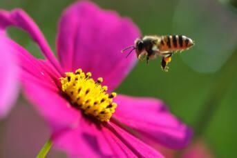 Bienen Das große Bienensterben betrifft sowohl den Globalen Norden als auch den Globalen Süden |  Bild: © Yuan [CC BY-NC-ND 2.0]  - Flickr