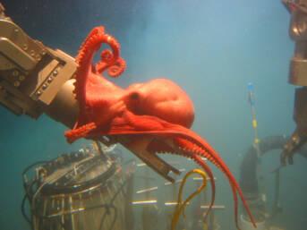 Der Raubbau in der Tiefsee stellt eine massive Bedrohung für uns und unsere Umwelt dar. Er könnte zu Artensterben und Umweltverschmutzung führen sowie den Klimawandel vorantreiben. Der Raubbau in der Tiefsee stellt eine massive Bedrohung für uns und unsere Umwelt dar. Er könnte zu Artensterben und Umweltverschmutzung führen sowie den Klimawandel vorantreiben.    Bild: © NOAA Ocean Exploration & Research [CC BY-SA 2.0]  - flickr