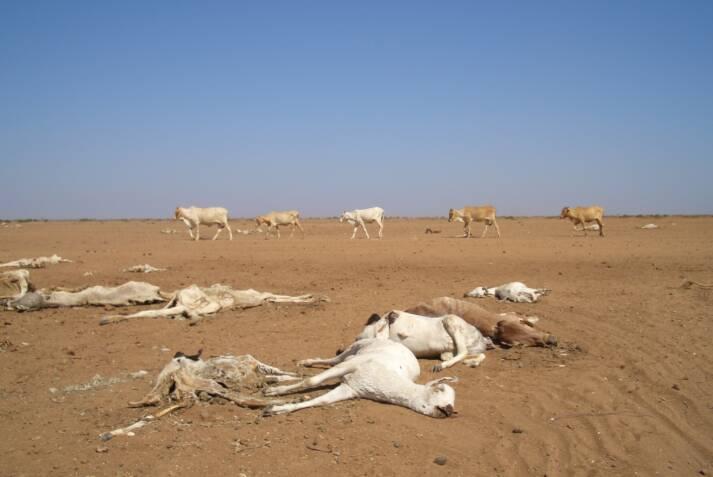 Verendete Ziegen aufgrund einer Dürre in Kenia |  Bild: © Oxfam International [CC BY-NC-ND 2.0]  - flickr