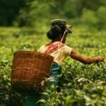In Assam arbeiten Teepflückerinnen und Teepflücker für Hungerlöhne und unter schlechtesten Bedingungen | Bild (Ausschnitt): © Akarsh Simha [(CC BY-SA 2.0) ] - flickr