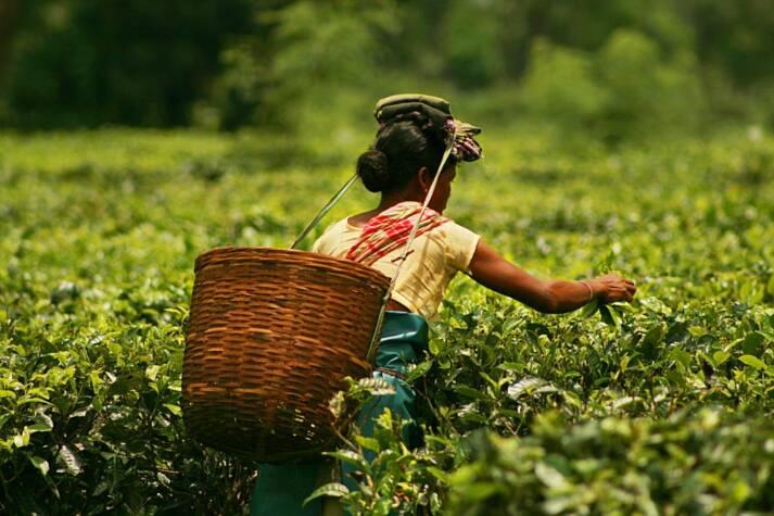 In Assam arbeiten Teepflückerinnen und Teepflücker für Hungerlöhne und unter schlechtesten Bedingungen    Bild: © Akarsh Simha [(CC BY-SA 2.0) ]  - flickr