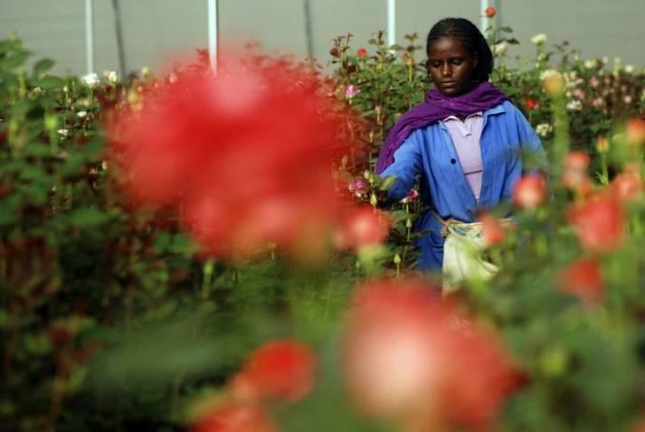 Äthiopische Arbeiterin bei der Rosenernte    Bild: © Yonat945 [CC-BY-SA-4.0]  - Wikimedia Commons