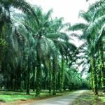 Palmölplantage | Bild (Ausschnitt): © Mingwei Chan | Dreamstime.com [Royalty Free] - Dreamstime.com