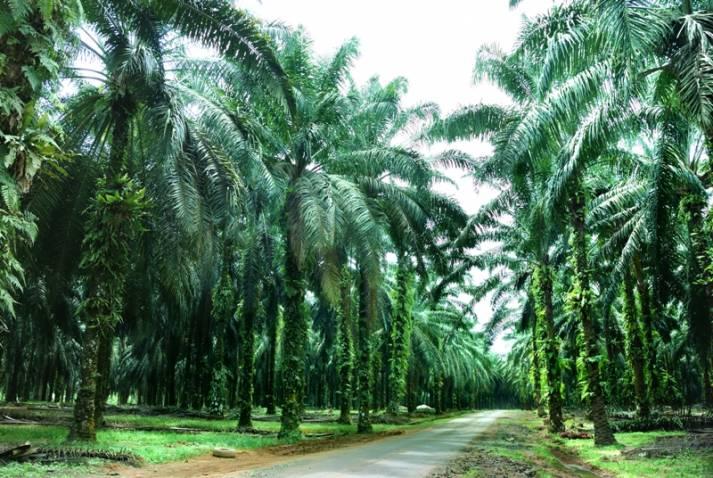 "Palmölplantage    Bild: ""Oil Palm Farm"" © Mingwei Chan   Dreamstime.com [Royalty Free]  - Dreamstime.com"