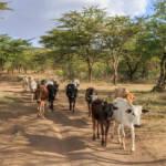 Ostafrika, Heuschreckenplage In Ostafrika, vor allem in Kenia, sorgt die Heuschreckenplage für Hunger und Leid. Die Katastrophe führt auch zu neuen Fluchtströmen | Bild (Ausschnitt): © Paco Gómez [CC BY-SA 2.0] - flickr