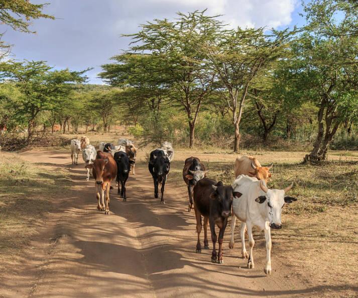 Ostafrika, Heuschreckenplage In Ostafrika, vor allem in Kenia, sorgt die Heuschreckenplage für Hunger und Leid. Die Katastrophe führt auch zu neuen Fluchtströmen    Bild: © Paco Gómez [CC BY-SA 2.0]  - flickr
