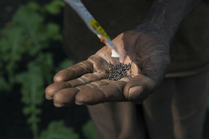Saatgut sichert die Ernährungssouveränität |  Bild: © WorldFish [CC BY-NC-ND 2.0]  - Flick