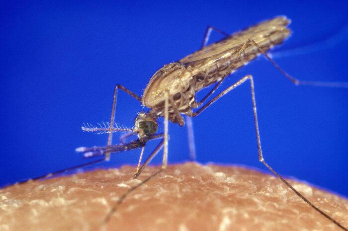 Malaria Anopheles Muecke Anopheles-Mücken sind die Überträger der Infektionskrankheit Malaria, an der jährlich bis zu 400.000 Menschen sterben. |  Bild: © James Gathany [public domain]  - Wikimedia Commons