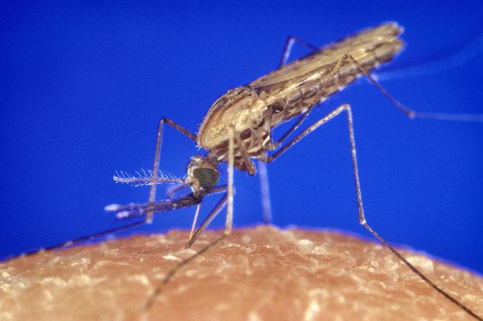 Malaria Anopheles Muecke