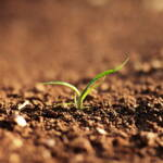 Setzlinge Güne Mauer Millionen solcher Setzlinge bilden die Grüne Mauer und schützen die Sahelzone vor der Ausbreitung der Wüste | Bild (Ausschnitt): © n.v. [Public Domain] - Pxfuel