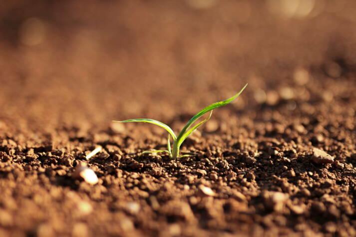 Setzlinge Güne Mauer Millionen solcher Setzlinge bilden die Grüne Mauer und schützen die Sahelzone vor der Ausbreitung der Wüste  |  Bild: © n.v. [Public Domain]  - Pxfuel