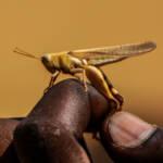 Ostafrika erlebt die schlimmste Heuschreckenkrise seit 25 Jahren. | Bild (Ausschnitt): © Ralf Steinberger [CC BY 2.0] - flickr